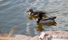 March 29, 2015 - Mallard ducks go for a swim at the Thornton Rec Center ponds. (Shawn and Michelle Jones)