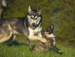 Smile! (liambull87) Tags: dogs smile jack fun play russle utonagan