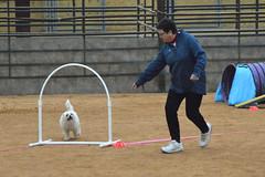 agility238 (jaimekay16) Tags: dog training austin agility k9 xpress nadac k9x