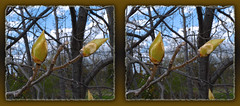 These Buds Are For You - Parallel 3D (DarkOnus) Tags: macro tree closeup lumix stereogram 3d scenic stereo buds bud parallel stereography ttw dmcfz35
