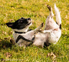 Nibbler having a roll around (Mr Whites Paw Prints) Tags: dog jackrussell rolling nibbler