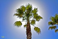 Holy palm (EAO72) Tags: tree turkey trkiye istanbul palmiye aa