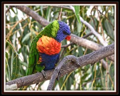 The Rainbow Lorikeet. 2014 Tom Crossan Photography. No animals or birds were disturbed or harmed in the process of taking this photo (Tom Crossan Photography) Tags: parrot rainbowlorikeet australianbird trichoglossushaematodus australianparrot nikond800 tomcrossanphotography