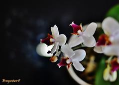 Macro of beautiful flowers (Bogzter9) Tags: old flowers white blur macro lights petals nikon scenery shot bokeh backround