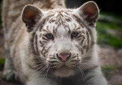 White Tiger Cub (Jasper Gielen) Tags: nikon tijger tigre whitetiger pantheratigris amnville wittetijger tigreblanco welp tigreblanc zoodamnville d5300 tijgerwelpjes