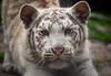 White Tiger Cub (Jasper Gielen) Tags: nikon tijger tigre whitetiger pantheratigris amnéville wittetijger tigreblanco welp tigreblanc zoodamnéville d5300 tijgerwelpjes