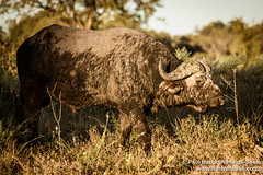 Buffalo Bull In The Okavango Delta, Botswana