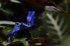 Blue Poison Frog (Dendrobates tinctorius) or Dyeing Poison Frog _DSC0073 (ikerekes81) Tags: blue washingtondc dc nikon amphibian frog national nationalzoo poison dyeing carnivore nikond3200 dendrobatestinctorius dczoo smithsoniannationalzoologicalpark d3200 washingtondczoo bluepoisonfrog dyeingpoisonfrog