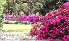 Azaleas of Rice University (maorlando - God keeps me as I lean on Him!!) Tags: pink flowers trees usa plant campus landscape spring oak bush texas azaleas seasonal magenta creation blooms shrub riceuniversity houstontx southmainstreet