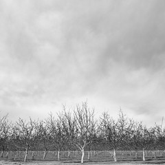 Day 639 [3/20/15]: Ent Protest (Buuck Photography) Tags: california county trees winter bw usa white black monochrome rural forest square photography countryside butte pattern dailypic farming walnut orchard rows valley sacramento norcal agriculture northern engineered dailyphoto photooftheday buuck project365 photoadaychallenge buuckphotos