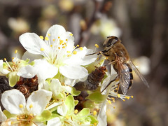 Ciruelo y díptero (marysaesteban) Tags: white primavera spring mosca diptera rosaceae prunusdomestica polinizadores frutal sanmigueldelarroyo valladolidblanco