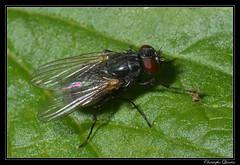 Hydrotaea sp. (cquintin) Tags: arthropoda diptera muscidae macroinsectes hydrotaea