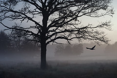 Spooky Morning (Ida H) Tags: morning blue mist cold tree bird nature silhouette misty fog dawn morninglight early flying cool wildlife branches flight foggy silhouettes birdinflight cooltones