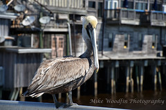 Pelican (Mike Woodfin) Tags: park color pelicans contrast photoshop canon photography photo cool nikon pretty fuji florida photos country wing picture feather pelican photograph fl fowl crusty cedarkey levycounty mikewoodfin mikewoodfinphotography