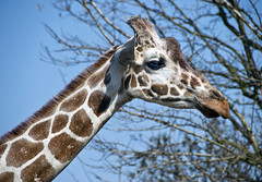 Giraffe (albireo 2006) Tags: neck poland giraffe wroclaw wrocaw wrocawzoo