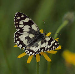 2016_06_0842 (petermit2) Tags: marbledwhitebutterfly marbledwhite butterfly brockadale northyorkshire yorkshire yorkshirewildlifetrust ywt wildlifetrusts wildlifetrust