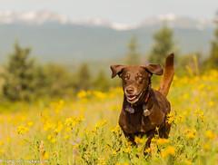 Still So Grateful (KB RRR) Tags: dog colorado rockymountains frontrange chocolatelabrador shyla