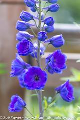 Guardian Blue Delphinium *1* (Zo Power) Tags: flowers summer june purple mygarden delphinium guardianbluedelphinium