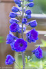 Guardian Blue Delphinium *1* (Zoë Power) Tags: flowers summer june purple mygarden delphinium guardianbluedelphinium