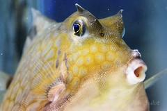 Poisson coffre pyramide (cedric.harbulot) Tags: nikon d5300 18250mm sigma nouvellecaldonie nouma pacifique poisson aquarium lagon ocan eau newcaledonia pacific mer fish lagoon ocean water coffre pyramide