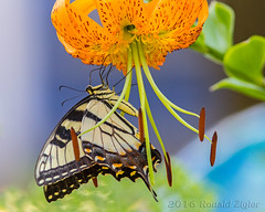 """A """"Double Tiger"""": """"Tiger"""" Swallowtail on a """"Tiger"""" Lilly IMG_2800 (ronzigler) Tags: tiger swallowtail butterfly papilio glaucus insect nature canon 300mm f4 14x 420mm"""