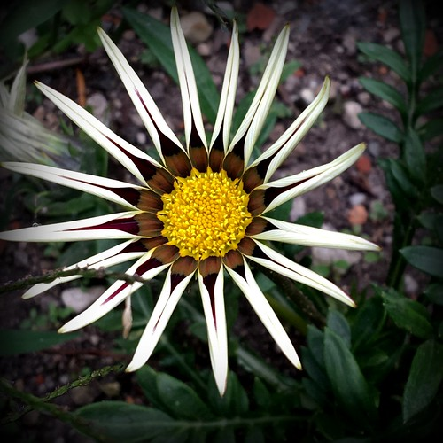 ~~ Asteraceae Gazania rigens ~~