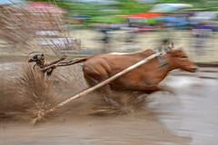 s Jul30_PJ_DSC_5858 (Andrew JK Tan) Tags: pacujawi cows racing sumatra tanahdatar 2016