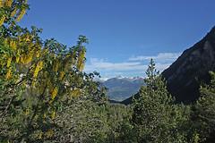 photo 3 (luka116) Tags: montagne suisse paysage juillet arbre vegetal valais 2016 vegetaux cytise derborence fabaces laburnumalpinum cytisusalpinus
