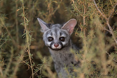 036-Genets_005 copy (Beverly Houwing) Tags: africa face closeup dry curious grassland bushes namibia striped alert genet exlpore
