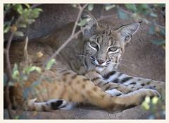 Bobcat (gauchocat) Tags: arizonasonoradesertmuseum tucsonarizona