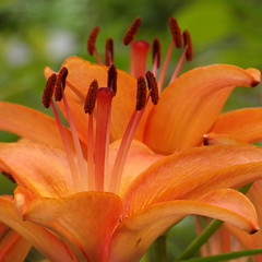 july lilies (2) (kexi) Tags: orange lilies flowers flower lily green july gniazdowo poland 2015 square bokeh instantfave samsung wb690