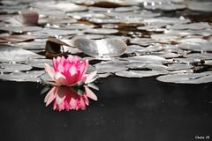 Water lily in rose (photoschete.blogspot.com) Tags: canon 70d eos sigma nenufar water lily rosa pink blanconegro blackwhite monocromo virado desaturadoselectivo reflejo reflection thanks