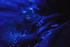 Mexican Leaf Frog (Funkomaticphototron) Tags: blue eye animal lowlight amphibian frog omahazoo mexicanleaffrog coryfunk