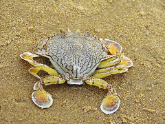 SEA CRAB (amukherji) Tags: sea sand crab