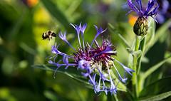 Honey  Bee (wrighteye) Tags: flowers gardens canon fly britishcolumbia bees bee honey kamloops 50d