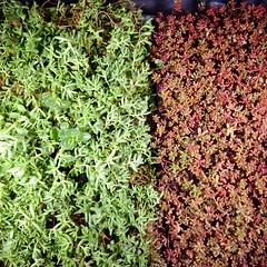 Sedum (NIRA GmbH) Tags: sedum grn rot sommer winter dnger fertilizer red green greenroof greening grndach pflege