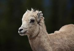 Rocky Mountain Bighorn Sheep Ewe (ashockenberry) Tags: jasper rockymountainbighornsheep wildlifenaturealbertasheepmammal