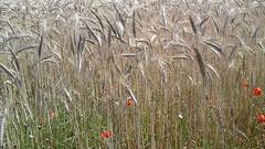 La vie potique /    -  Les coquelicots - St-Vio -Trguennec - Finistre - t 2016 (jeanyvesriou1) Tags: bls wheat coquelicots wheatfield nature countryside stvio trguennec t2016 poppies