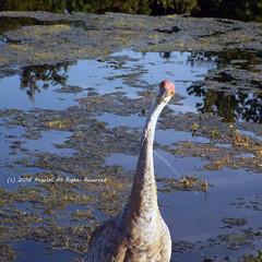 What Am I Looking At? (AngelaC2009***) Tags: 2016 august florida riverview wildlife backyardwildlife bird sandhillcranes pond summer fujifilmfinepixs8200