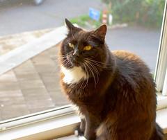 In the Light (brewan) Tags: cat cats mainecoon fluffy floof sun sunrise morning golden hour 35mm nikon lightroom portrait window windowsill early kitten meow whiskers