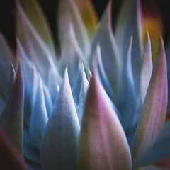 Verdant Flames (Bokehneer) Tags: succulent plant flora spikes leaves abstract vibrant losangeles california nikon d700
