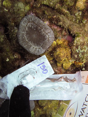 GCMP_sample_photo_860 (r.mcminds) Tags: hexacorallian scleractinian metazoan needsspeciesid idbyjoepollock cnidaria gcmp robust anthozoan e521scosp420150306 mussinae scolymia caribbean taxonomyuncertain xxi photobyjoepollock colombia gcmpsample cartagena scolymiasp animal cnidarian globalcoralmicrobiomeproject hardcoral mussidae stonycoral bolívar co