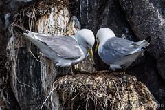 DSC_0493.jpg (oscarmalo681) Tags: islasfairn alcas cormoranes focas frailecillos gaviotas verano2016