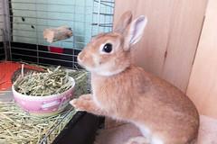 Ichigo san 286  (mensore) Tags: brown bunny cute family ichigo netherland dwarf netherlanddwarf pet rabbit