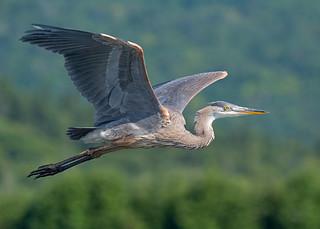 Grand Héron - Ardea herodias - Great Blue Heron