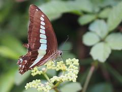2016-08-05 17 05 02 (Polotaro) Tags: mzuikodigital45mmf18 butterfly insect bug nature olympus epm2 pen zuiko          8