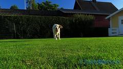 Prosit Scooby! (J Tube-Films) Tags: scooby söt golden dog gullig leker hundleksak hundvalp hund puppy valp valpar retriver