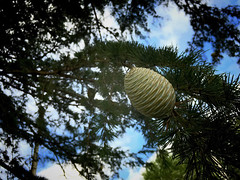 226/366 The Young Pinecones (Bernie Anderson) Tags: ifttt 500px tree no person pine nature wood evergreen outdoors cone conifer fir branch coniferous bright desktop color summer sky landscape greenville greenvillesc yeahthatgreenville