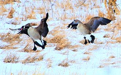 Canada geese at Cardinal Marsh IA 854A5859 (lreis_naturalist) Tags: county canada geese cardinal reis iowa larry marsh winneshiek