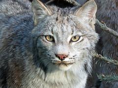 Lynx (5) (bookworm1225) Tags: zoo march minnesotazoo 2015 tropicstrail minnesotatrail